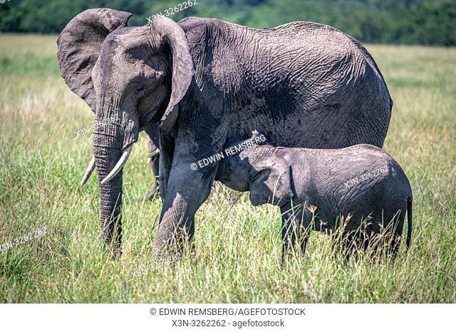 African bush elephants (Loxodonta africana), aka African savanna elephants during nursing in Maasai Mara National Reserve , Kenya