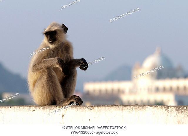 Sitting Monkey,Pushkar