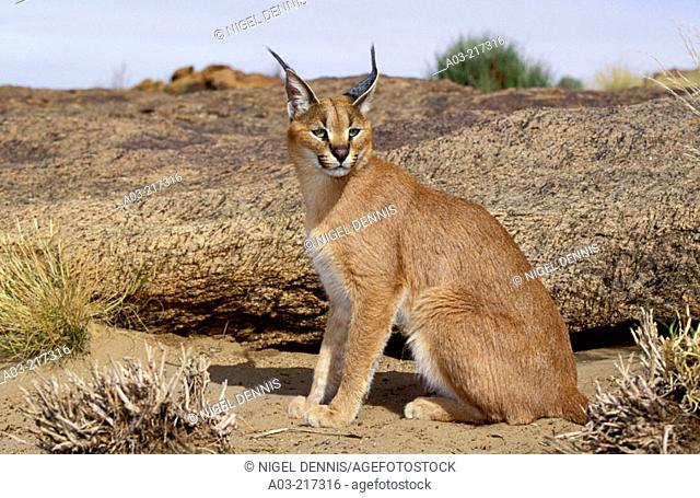 Caracal (Felis caracal). Augrabies Falls National Park, N. Cape. South Africa