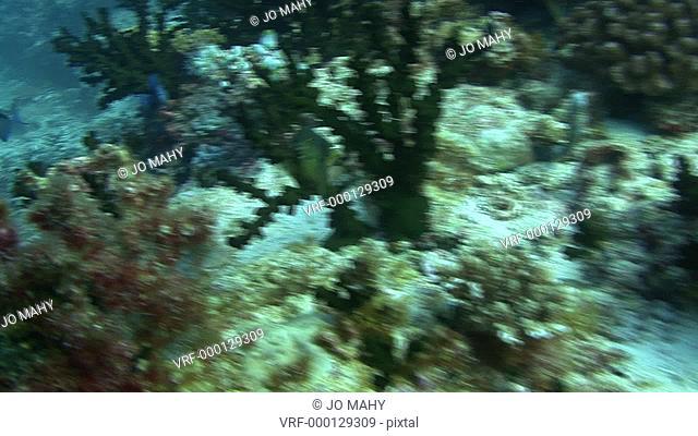 Damsel fish swimming through coral. Maldives, Indian Ocean