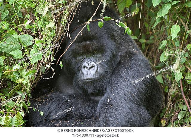 Mountain Gorilla, Gorilla beringei beringei, portrait of a silverback sitting in vegetation, Volcanoes National Park, Rwanda