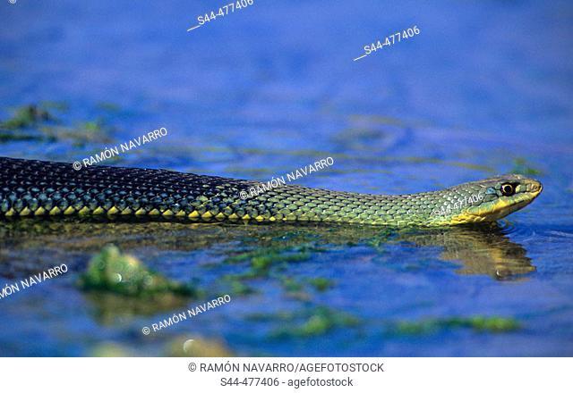 Montpellier Snake (Malpolon monspessulanus) crossing creek. Málaga, Andalusia, Spain