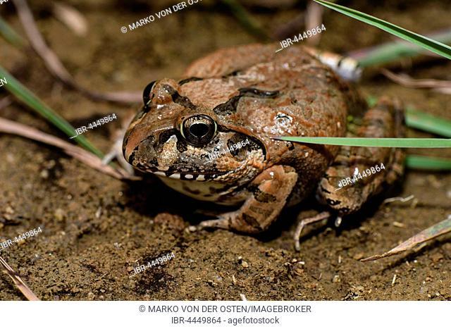 Madagascar Bullfrog (Laliostoma labrosum), male, Andasibe National Park, Madagascar