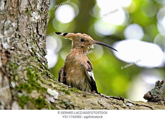 Hoopoe, upupa epops, Adult standing on Tree Trunk, Normandy