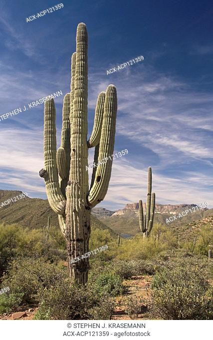 Saguaro Cactus (Carnegiea gigantea) along the 40 Mile Apache Trail, or AZ 88 as it is officially known, with Theodore Roosevelt Lake