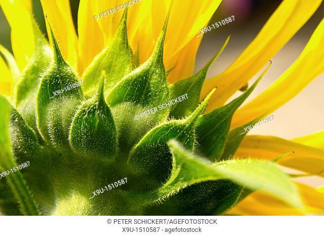 detail of a sunflower blossom, North Rhine-Westphalia, Germany, Europe