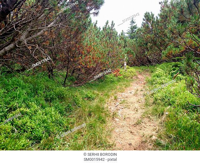 Juniper path in mountain Hiking through Karpathians mountain near Lugi village nature
