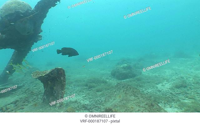 Grouper fish and Yellowtail Snapper fish swimming, scuba divers in background