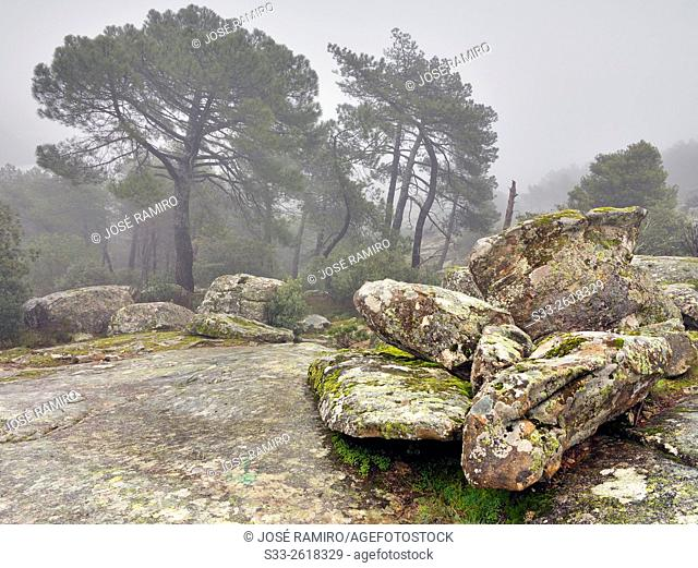 Fog in the Concejo pinewood. Cadalso de los Vidrios. Madrid. Spain. Europe