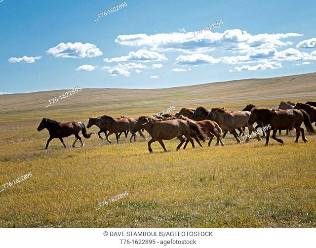 wild horses in the Orkhon River Valley of Central Mongolia