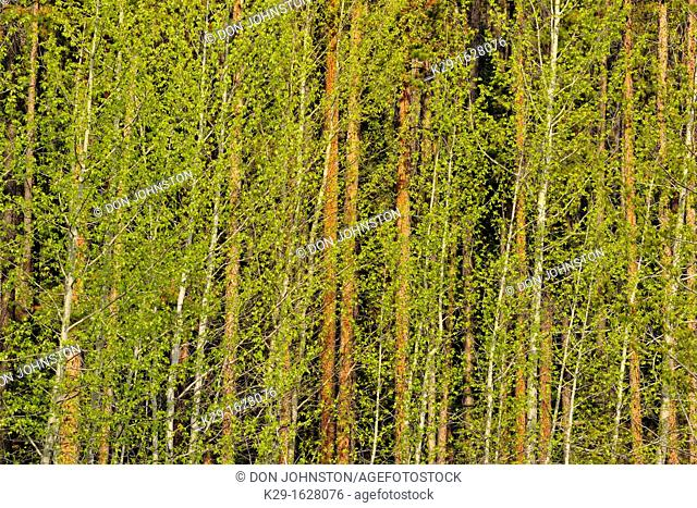 Grove of aspens (Populus tremuloides) with fresh foliage and lodgepole pines (Pinus contorta), Jasper National Park, Alberta, Canada