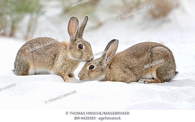 European or common rabbits (Oryctolagus cuniculus), couple on Baltic Sea dunes, Mecklenburg-Western Pomerania, Germany
