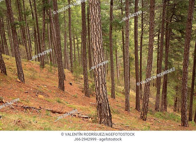 Pine forest (Pinus nigra) in the Dark Forest in the natural park Peñagolosa. Castellón