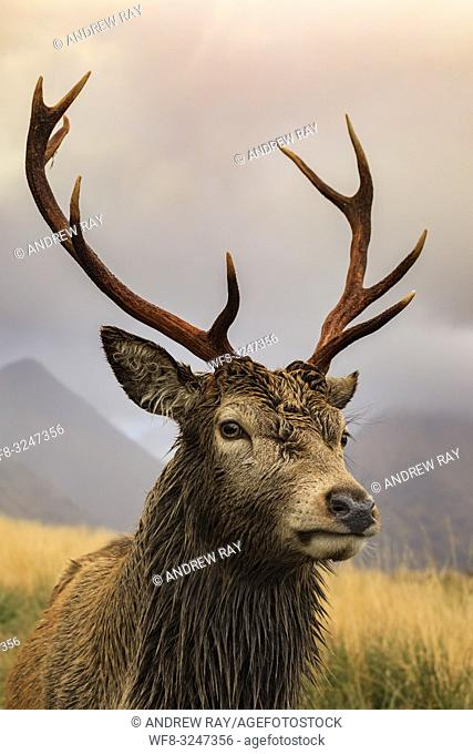A red deer stag in Glen Etive, Scotland, with mountains in the background