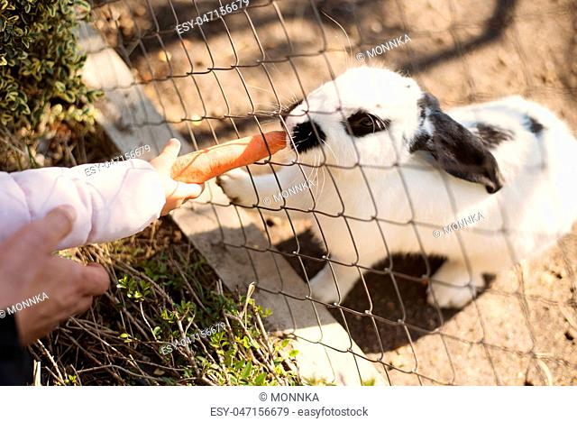 Dad and daughter feed food white bunny with carrots through a zoo fence
