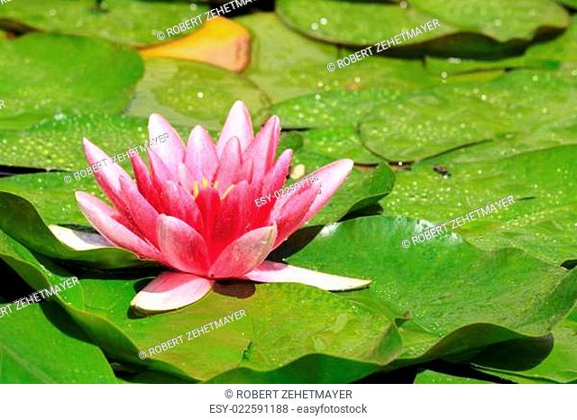 Beautiful purple water lily with water drops