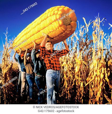 Farm hands carrying incredible ear of corn