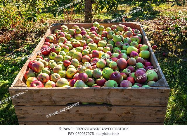 Wooden bin full of red-green apples. Crate of fresh apples for transport and sale