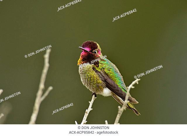Anna's Hummingbird (Calypte anna), Morro Bay State Park, California, USA
