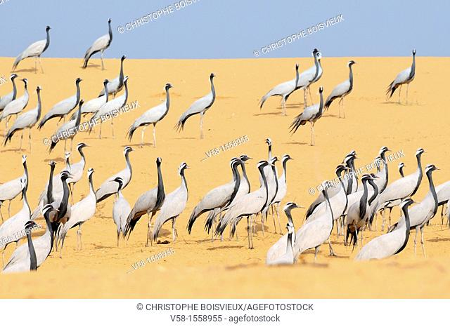 India, Rajasthan, Phalodi district, Kheechan, Demoiselle cranes  Native to South West Europe, Black Sea region, Poland, Ukraine, Kazakhstan, Africa and Mongolia