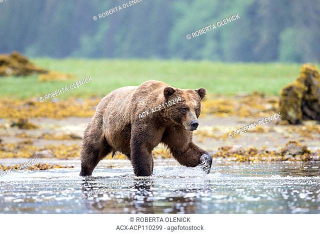 Grizzly bear (Ursus arctos horribilis), large male, Khutzeymateen Inlet, Khutzeymateen Grizzly Bear Sanctuary, British Columbia, Canada