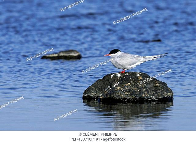 Arctic tern (Sterna paradisaea) perched on rock in loch, Scotland, UK