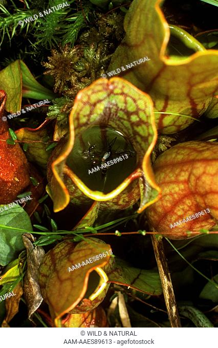 Pitcher Plant leaf (Sarracenia purpurea) with floating drowned insects