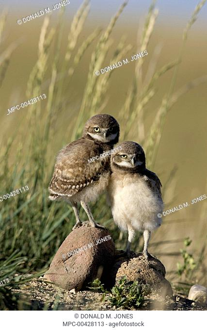 Burrowing Owl (Athene cunicularia) pair of owlets, central Montana