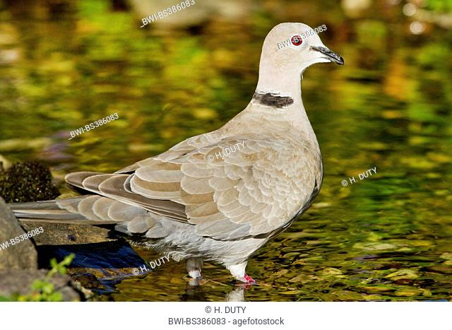 collared dove (Streptopelia decaocto), at a brook, Germany, Mecklenburg-Western Pomerania