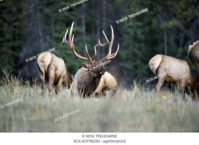 Cervus canadensis nelsoni, rocky mountain elk, rut, Alberta, Canada, male, bull with cows