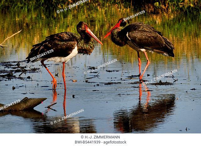 black stork (Ciconia nigra), two storks in shallow water, Germany, Rhineland-Palatinate, Westerwald