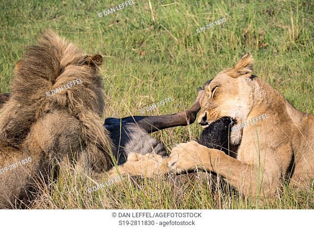 Botswana. Lion Kill
