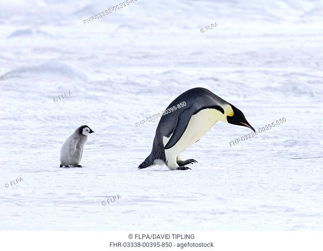 Emperor Penguin Aptenodytes forsteri adult with chick, walking over sea ice, Snow Hill Island, Weddell Sea, Antarctica, november