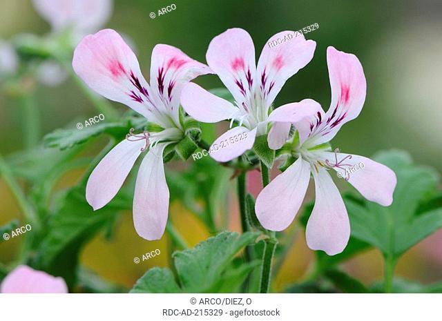 Geranium 'Sweet Mimose', Pelargonium spec