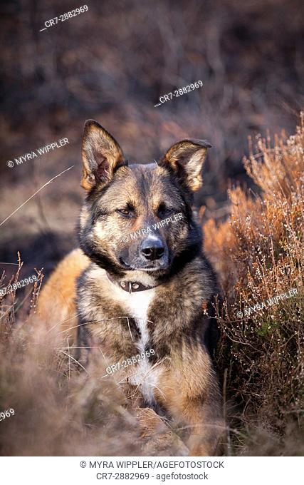 Shepherd mix dog in nature