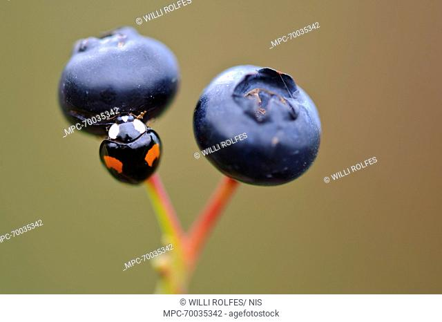 Asian Ladybird Beetle (Harmonia axyridis) on Bilberry (Vaccinium myrtillus)
