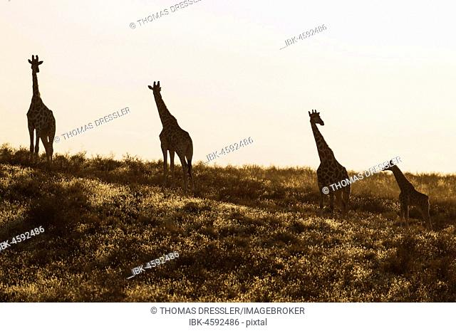 Southern Giraffes (Giraffa giraffa), small herd with young in the early morning, Kalahari Desert, Kgalagadi Transfrontier Park, South Africa