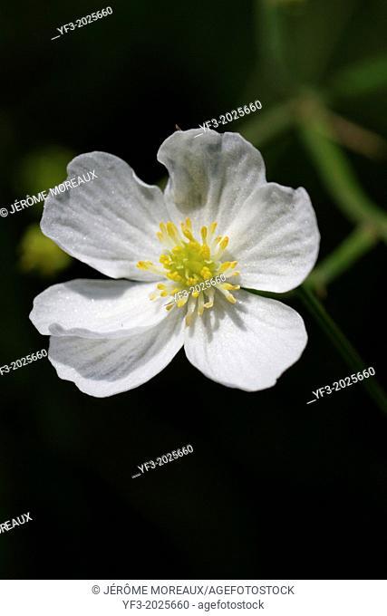 Ranunculus pyrenaeus, Pyrenean buttercup, France