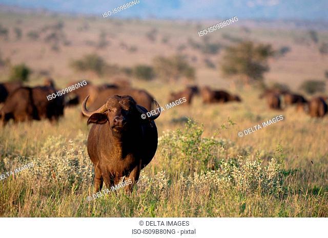 African Buffalo (Syncerus caffer), Lualenyi Game Reserve, Tsavo, Kenya