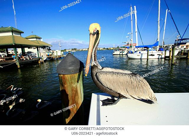 pelican at naples city dock naples florida usa
