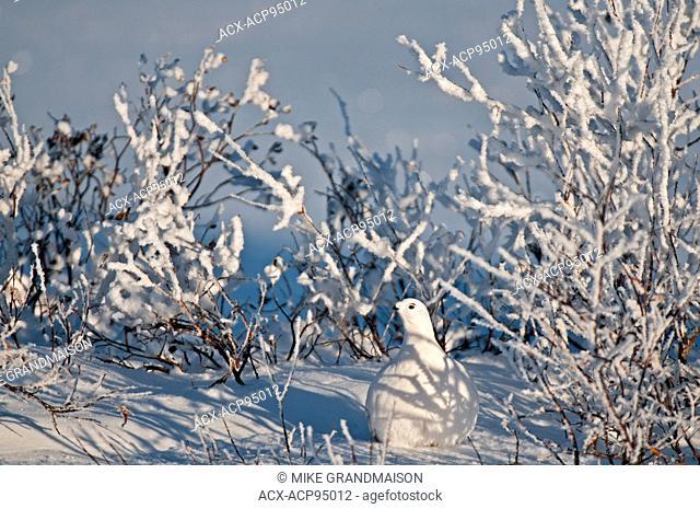 Willow ptarmigan on hoarfrost covered tundra, Churchill, Manitoba, Canada