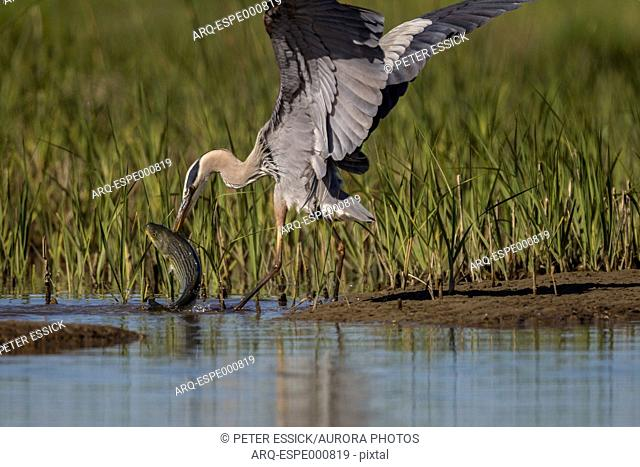 Great blue heron catching striped bass in restored salt pond in San Pablo Bay, California, USA