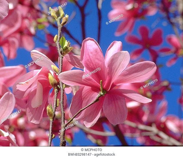saucer magnolia (Magnolia soulangiana 'Galaxy', Magnolia soulangiana Galaxy), cultivar Galaxy, blooming branches