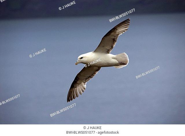 northern fulmar Fulmarus glacialis, flying, Iceland, Reykjanes