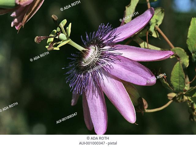 passiflora amethyst - purplish-blue - half profile view to complement an eccentric flower