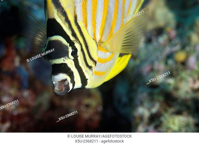 Ornate butterflyfish, Chaetodon ornatissimus
