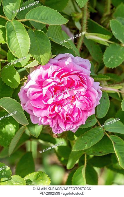 Rosa centifolia 'Soupert & Notting' Breeder : Pernet (FRA) 1874