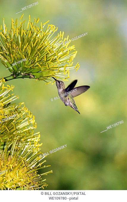 Hummingbird at Desert Botanical Gardens - Phoenix, Arizona