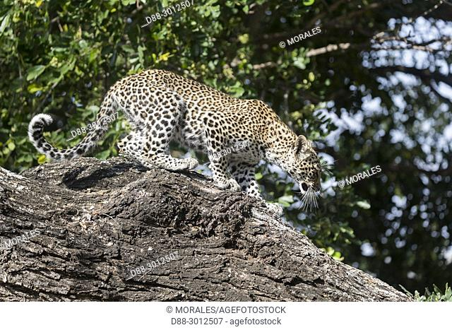 Africa, Southern Africa, South African Republic, Mala Mala game reserve, savannah, African Leopard (Panthera pardus pardus), young in a tree, going down