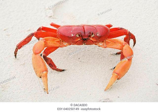 Red land crab, Cardisoma crassum, in the sand